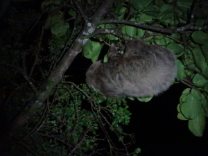 Sloth at night.