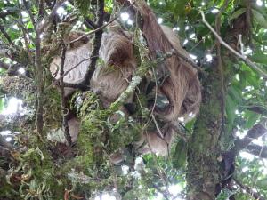 This mass-o-hair is a sloth!