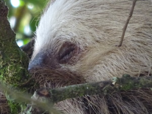 Close up of the sleepy sloth -- is there any other kind?