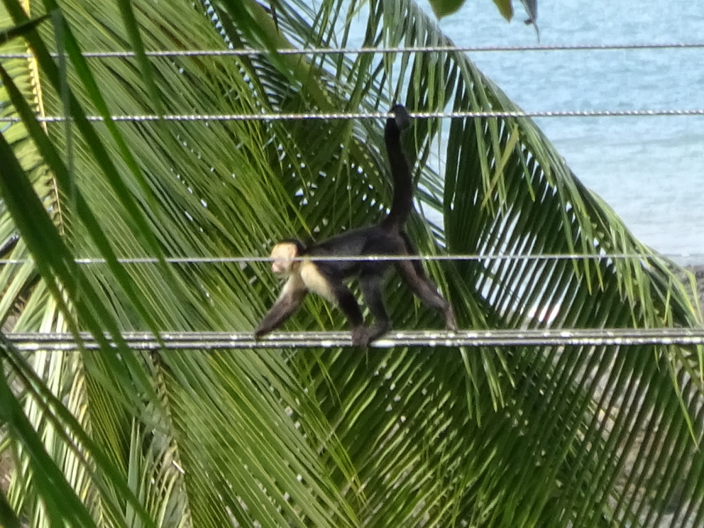 Monkeys crossing the wires as snacked at the Drake Bay Cafe