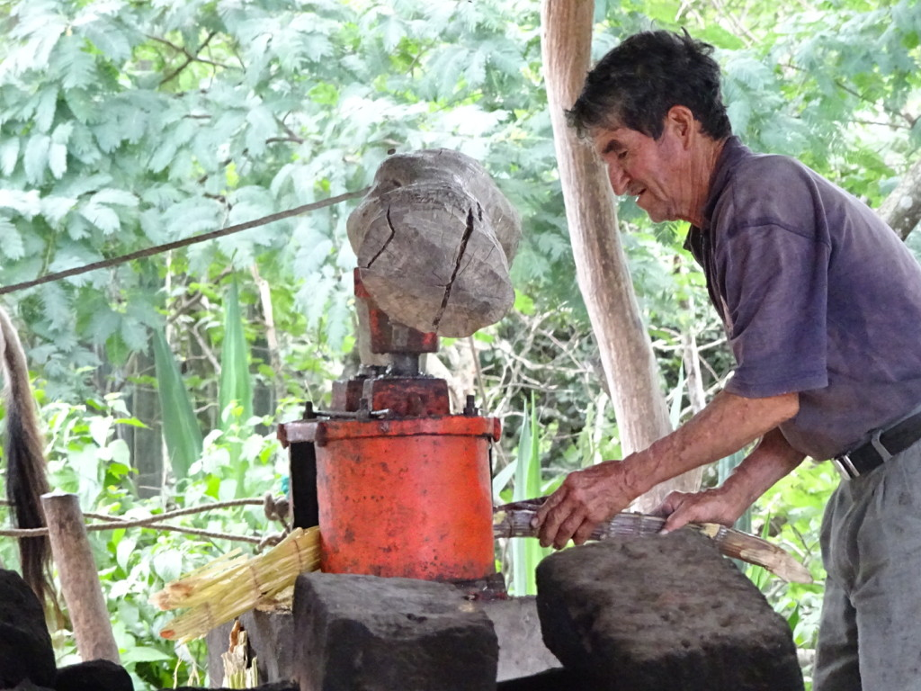 This is one of the brothers. He is feeding the sugar cane into the press.