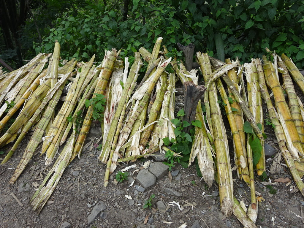 Sugar cane that was picked yesterday and will be pressed today.