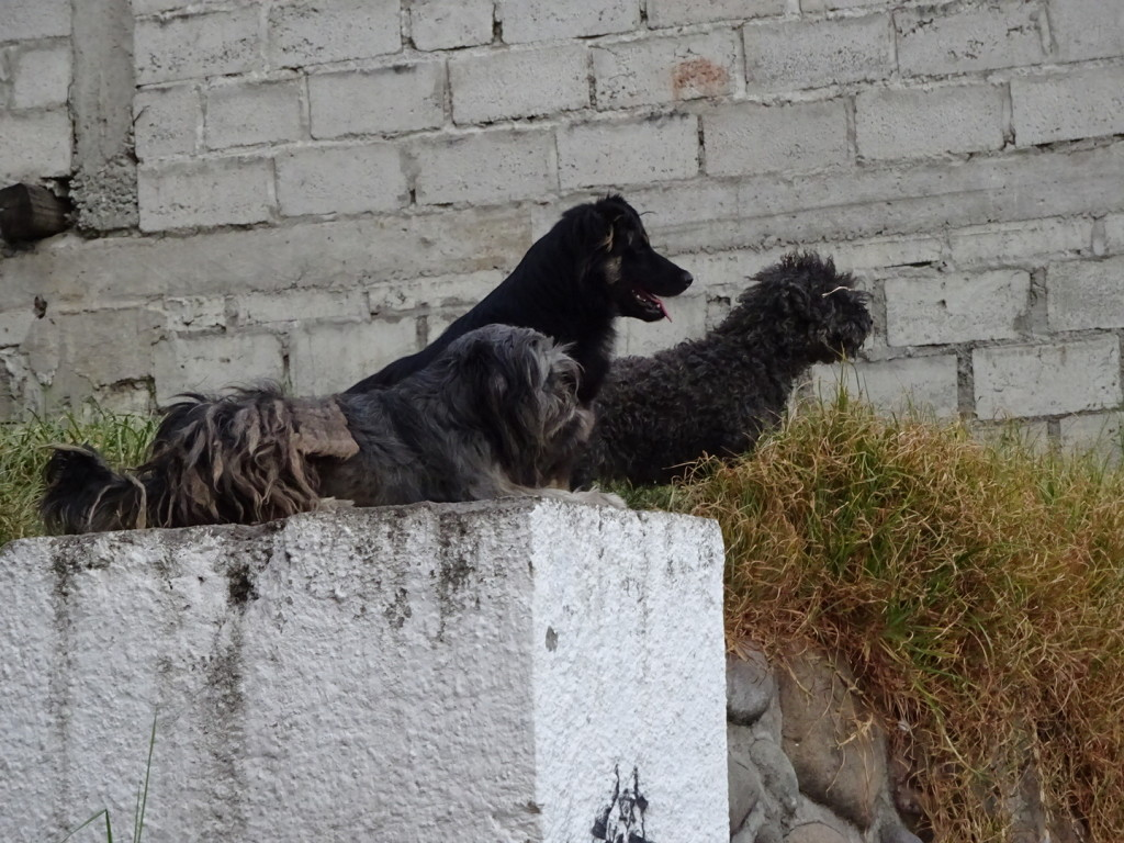 Cuenca, Ecuador.  A small gang of street dogs that took the high ground and watched with keen interest.