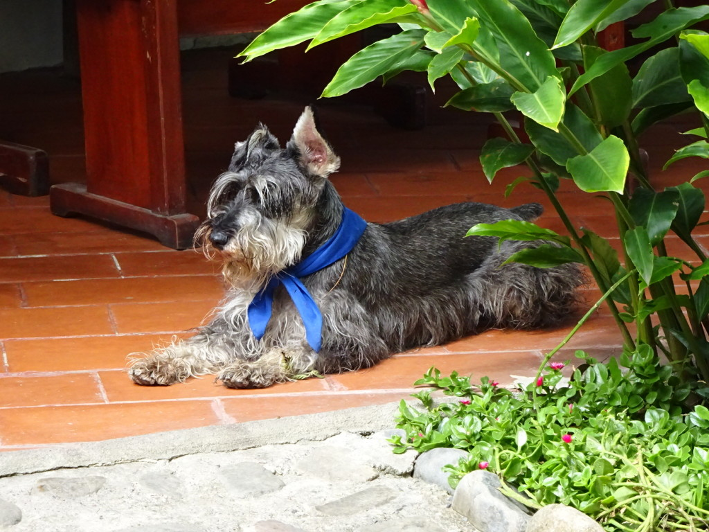 Valcabama, Ecuador. This furry friend lived at the fabulous hostal/resort we stayed at - every day a new neckerchief.