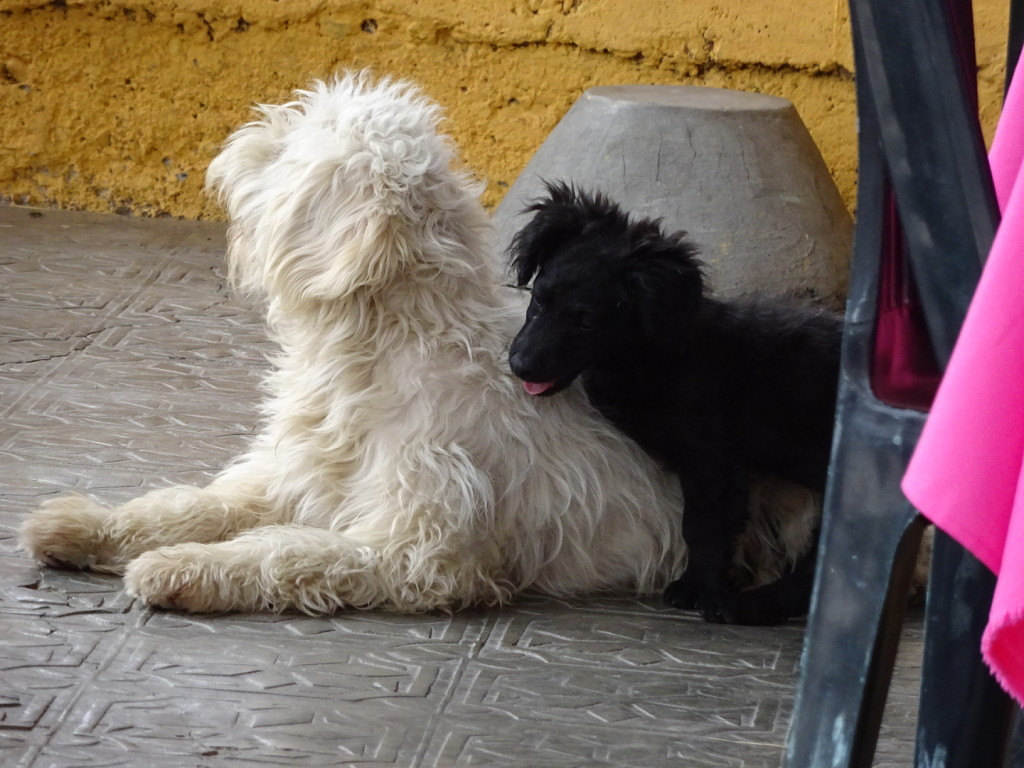 Vilcabamba, Ecuador. I could not stop watching these two - the little black fuzz ball just kept wanting to play with the big white fuzzball. They scrapped and rolled and tussled all through our lunch.