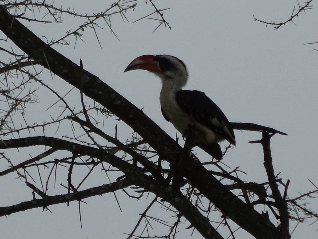 A hornbill, though I can't remember which one...