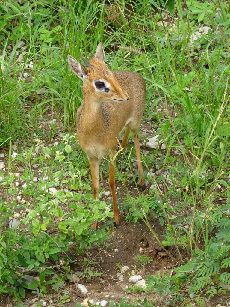 Dik Dik - 3rd smallest antelope