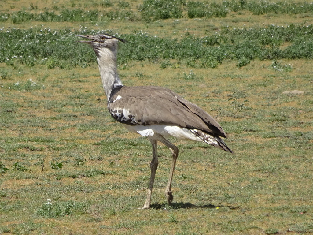 Ahhh, the Kori Bustard. Heaviest flying bird in the world!