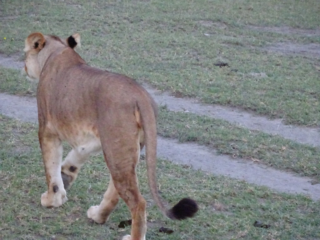 Eek...a lion!