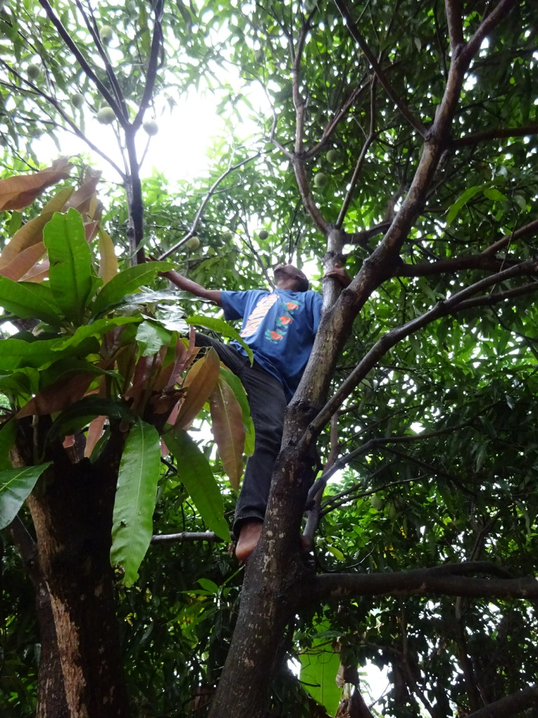 David's cousin climbs the mango tree to pick us some good ones. David stood on the ground directing him to the hardest-to-reach fruit.
