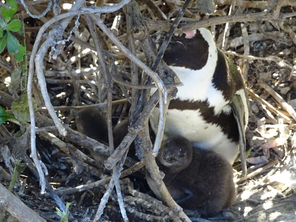 Penguin chicks!!