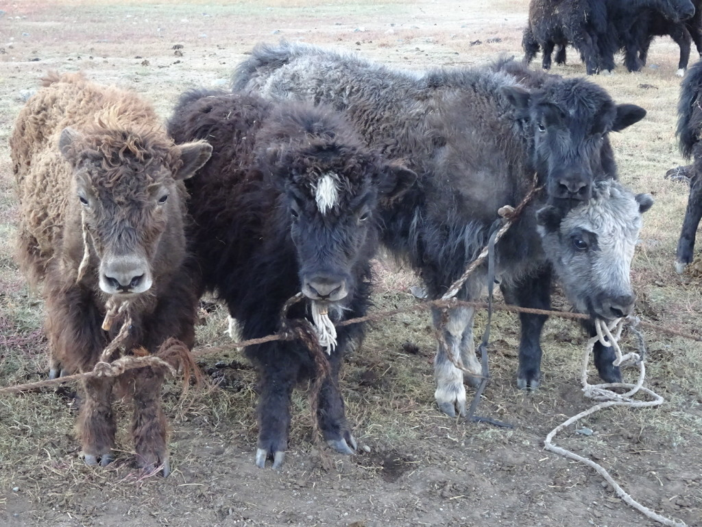 Cute baby yaks...tied up with yak hair rope.