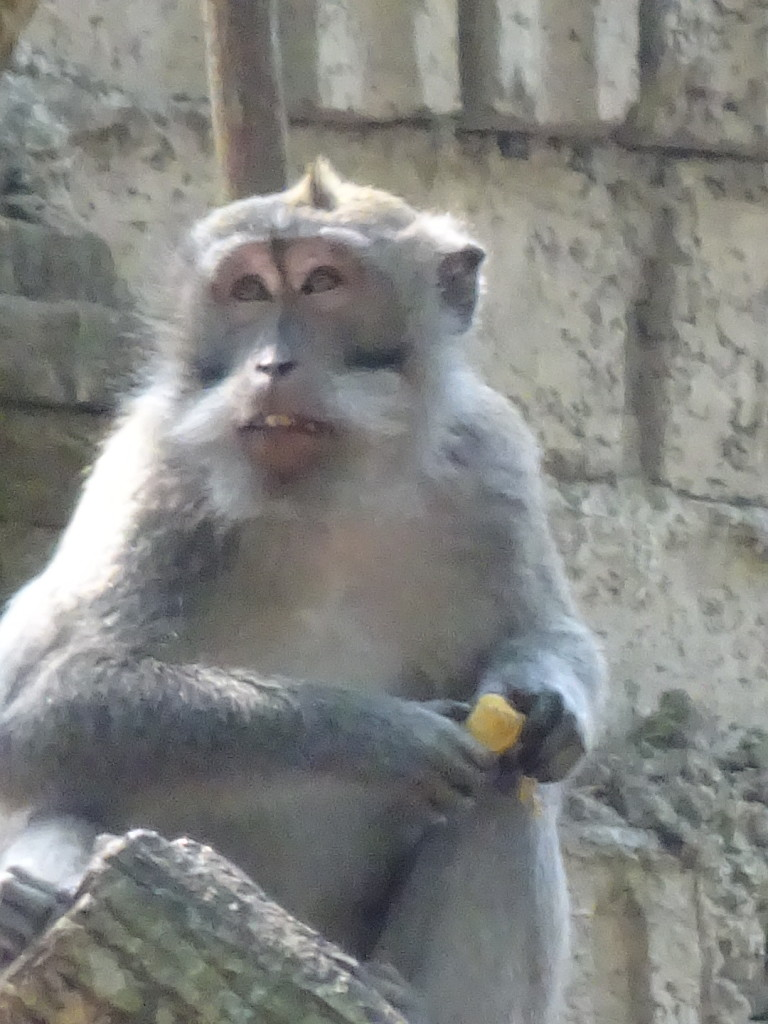 The Monkey Forest was close by.They have learned to get foods from humans so they are no longer the curious and fun monkey to watch, like in Mangengan, instead you have to be on gaurd so they don't steel form you.