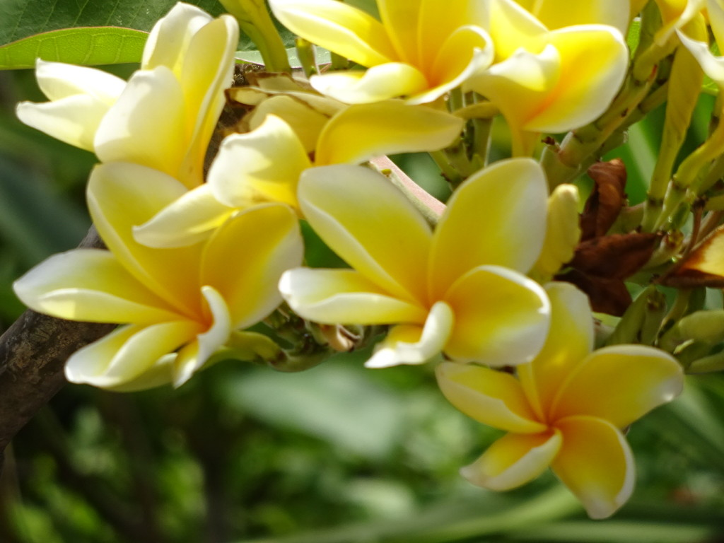 I might not ever grow tired of plumeria, my fav of all tropical plants.