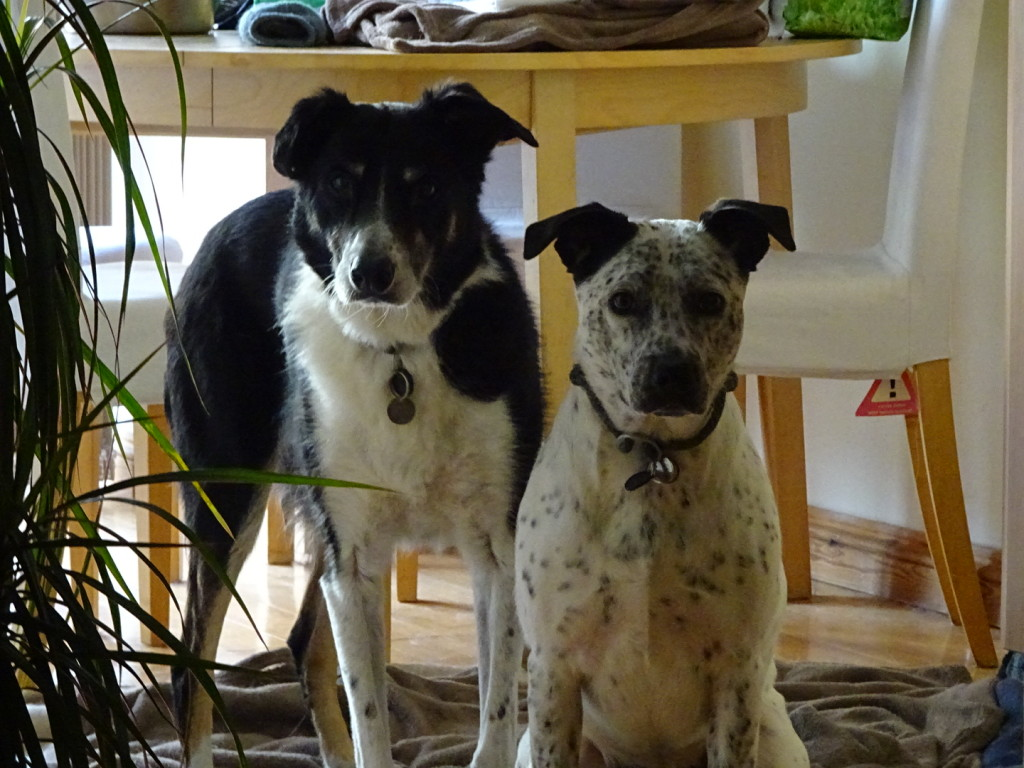 Billy and Bella, rescue dogs extraordinaire!