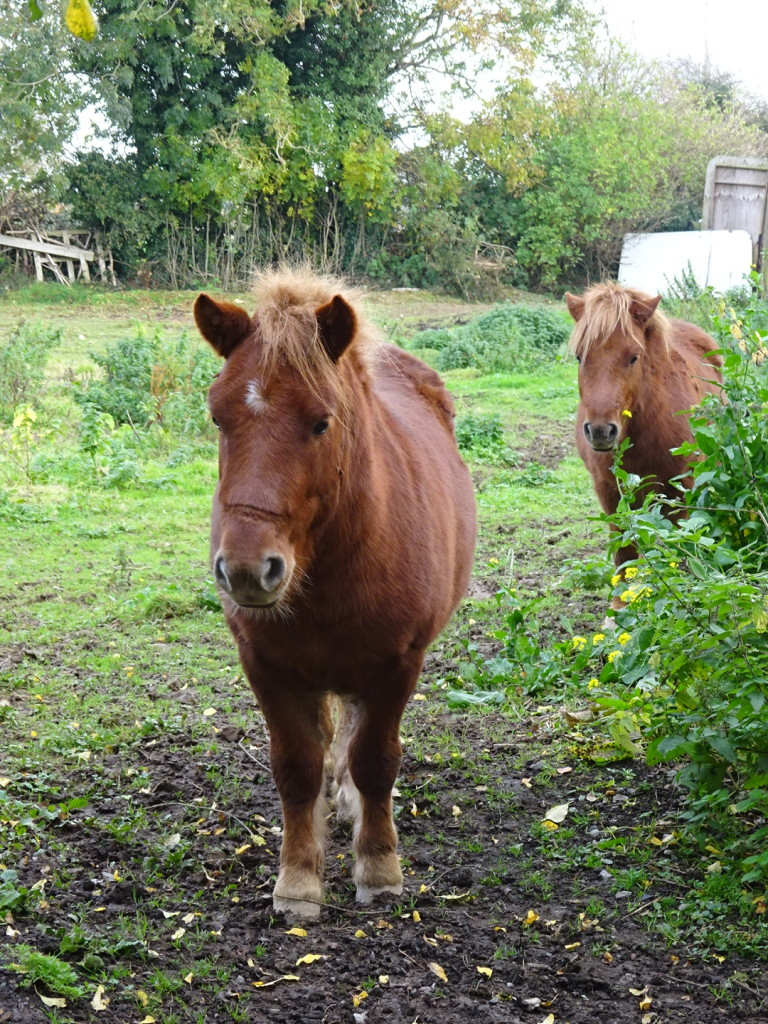 The neighbor shetland pointies...only slightly smaller than Trusty my Mongolian horse.