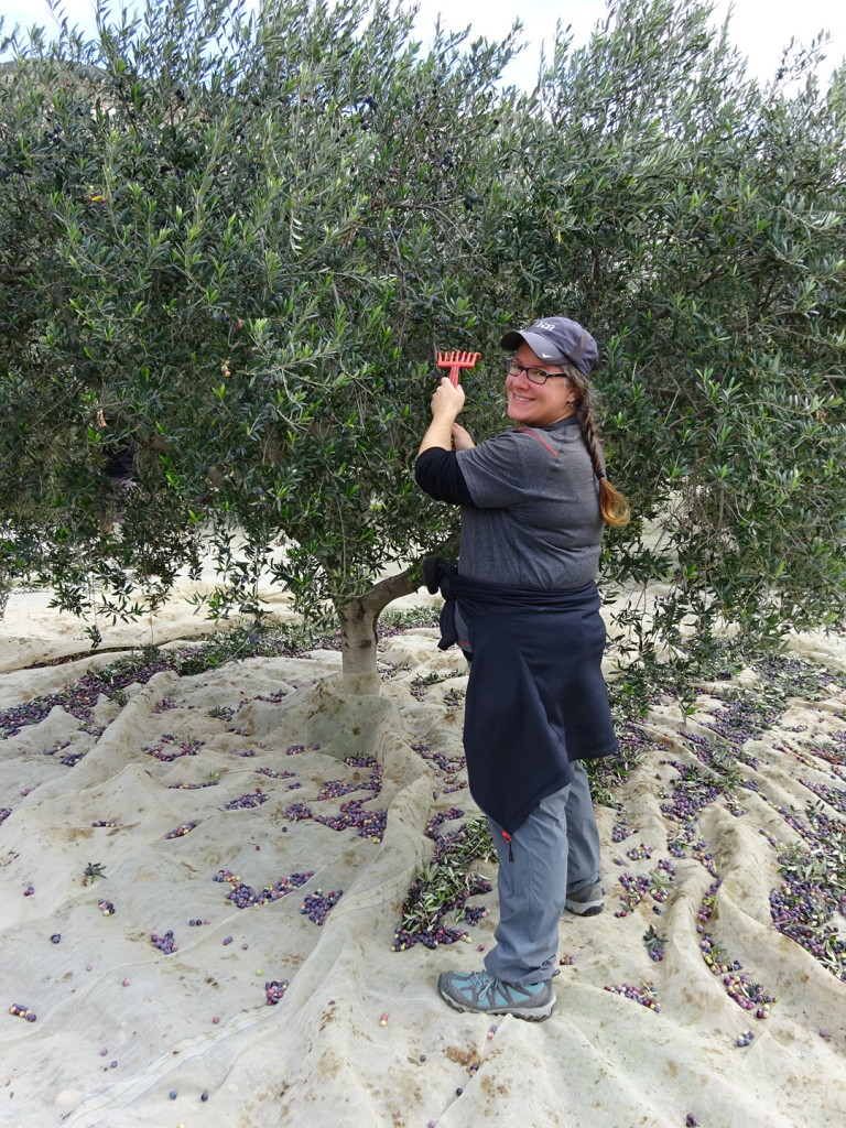 "We used little tiny rakes to ""comb"" the olive tree which causes the olives to fall to the net. Pretty simple stuff..."
