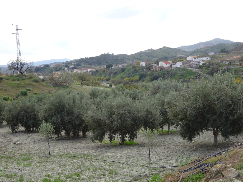 Olive groves look like this.