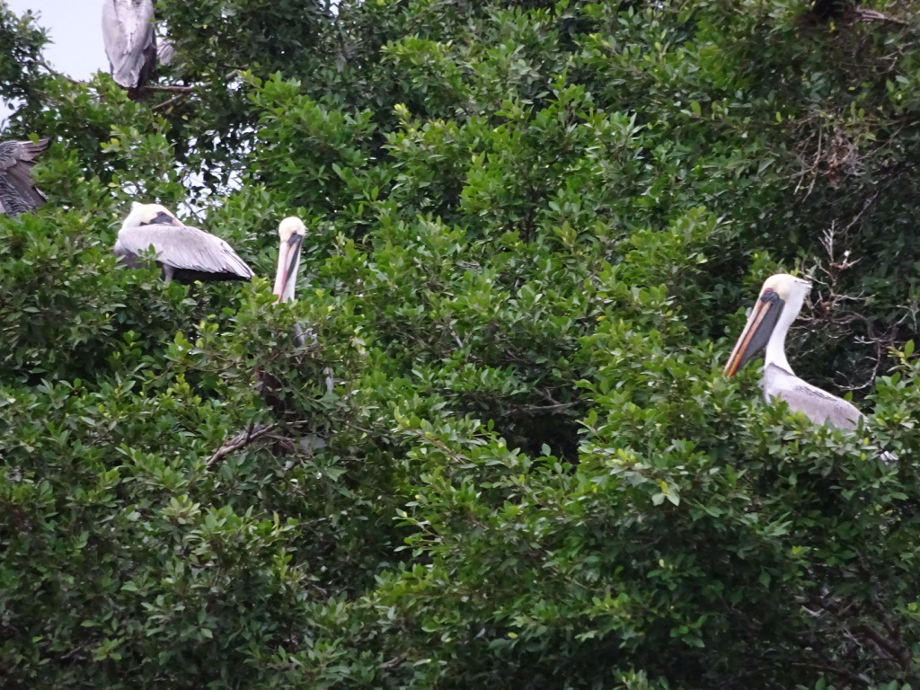 See? I told you:  PELICANS in the TREE! (crazy!)