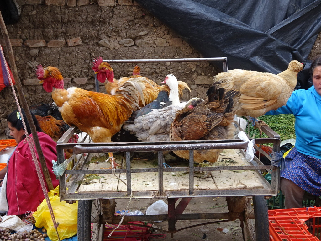 Chickens and ducks for sale. They are eached teathered to the cart.