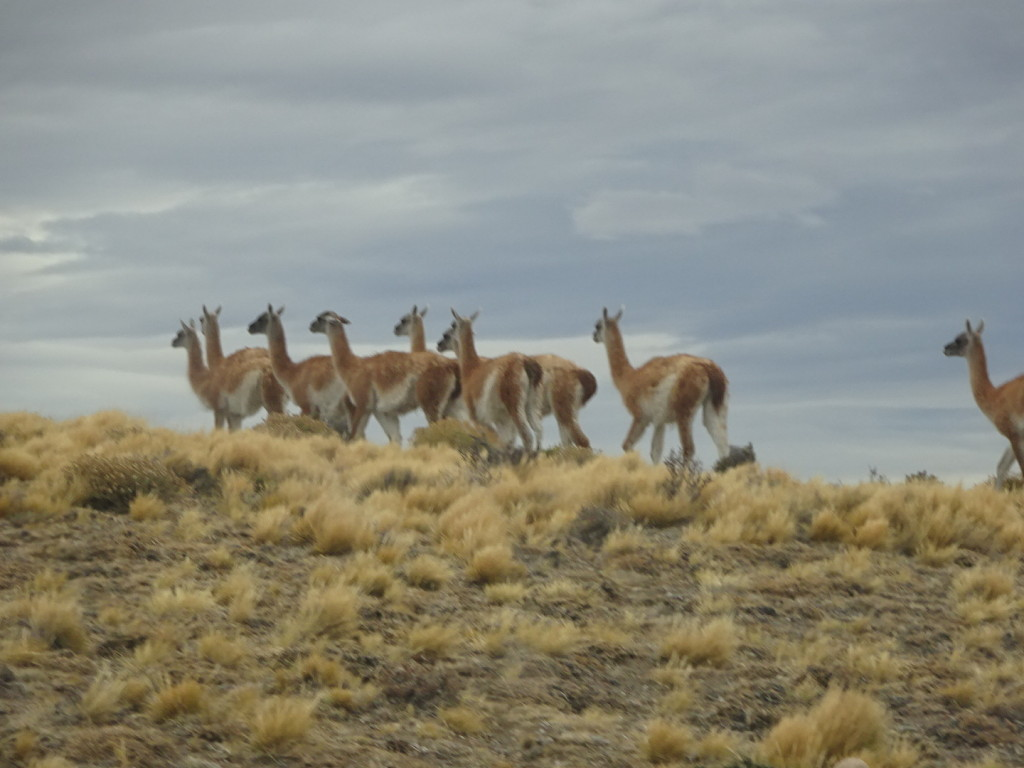 Seems very hard to get a picture of guanacos that's not just guanaco butts.
