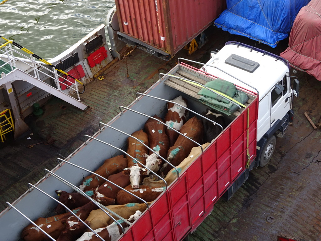 A couple of truck loads of cows also made the trip.