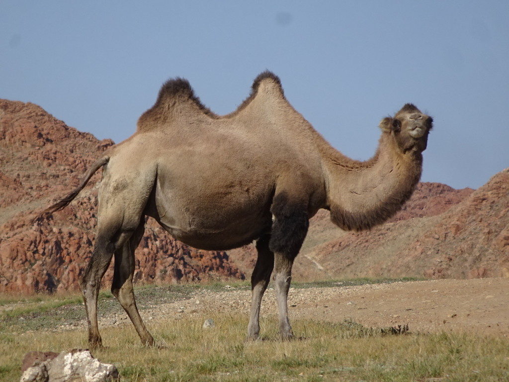 We even saw camels while we were off-roading. I've never seen herds of camels before!