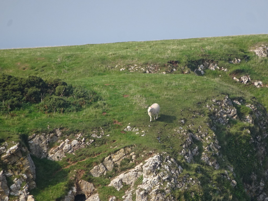 The sheep certainly weren't scared of the cliffs. Lets just say we didn't go quite that close...