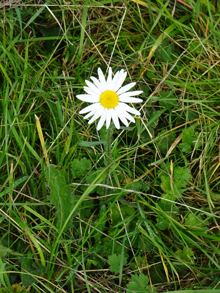 A lone daisy in a sheep field awaited us one morning.